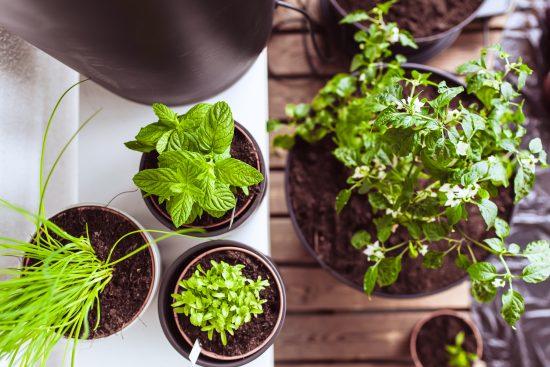 Tomaattia, mansikkaa, ämpäriperunaa ja yrttejä – ota haltuun parvekeviljelyn perusteet!