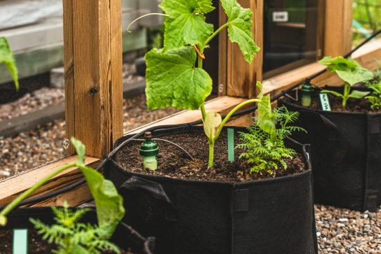 Tukea tomaateille ja kasvutilaa kurkuille – ota talteen vinkit hyötykasvien tukemiseen!