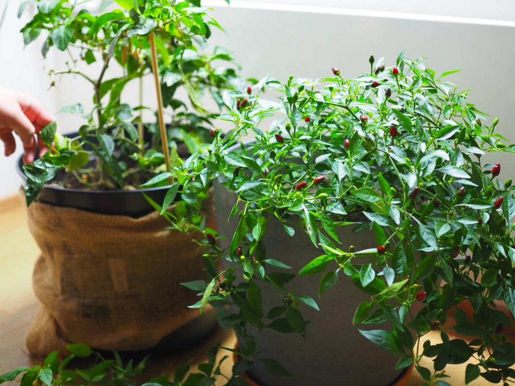 Puutarhasesonki päättyy pian – näin varmistat, että monivuotiset hyötykasvit selviytyvät talven yli!